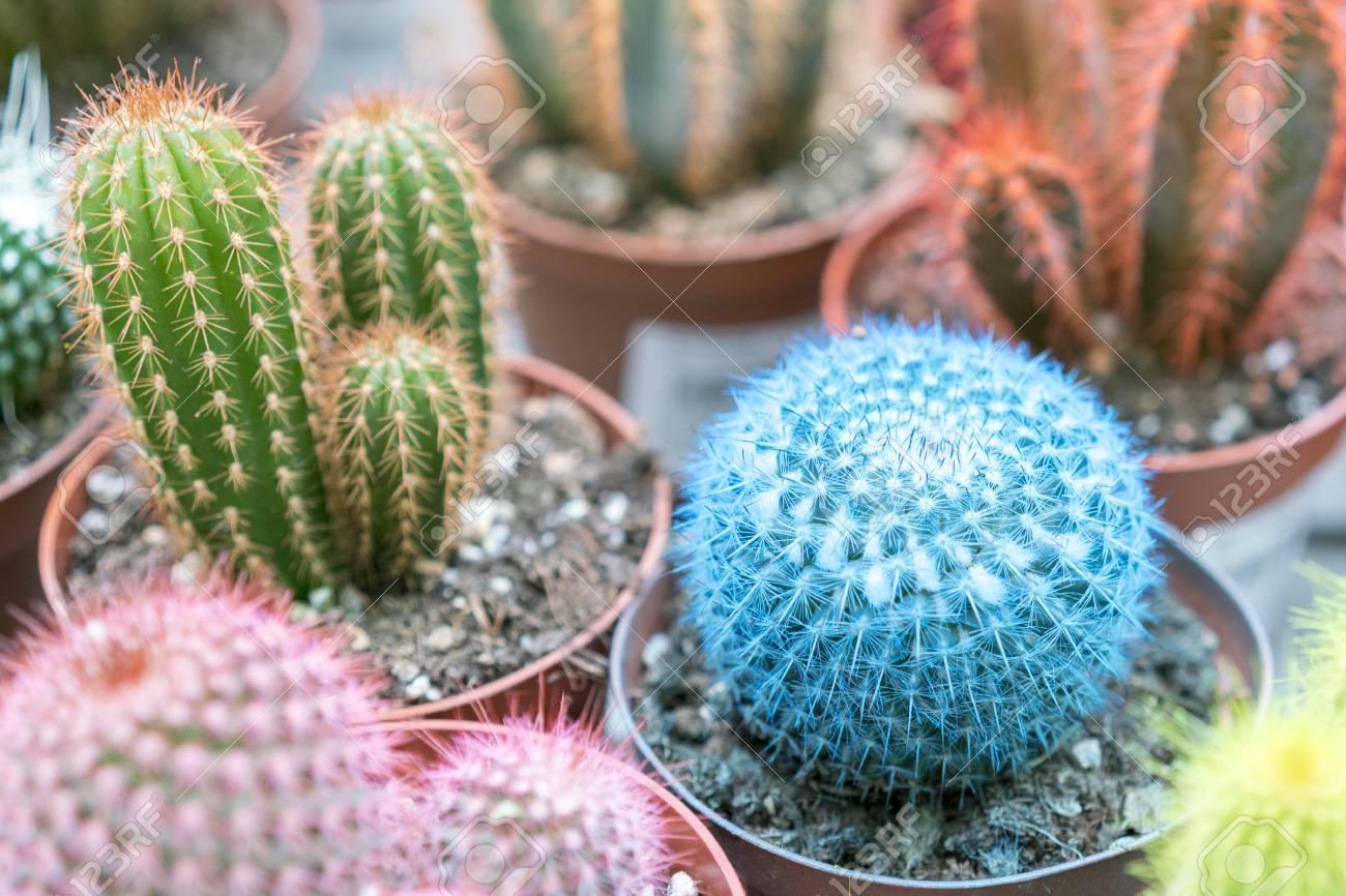 102387736-small-multi-colored-cacti-in-pots-pink-cactus-blue-cactus-